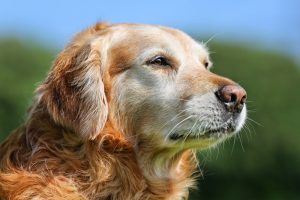 A golden retreiver named Peach who has passed away